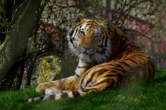 1096-16L (Lozarithm) Tags: marwell bigcats k50 hants owslebury x14 55300 flickrbigcats hdpda55300mmf458edwr