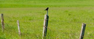 Red-Winged Blackbird at Tolay Lake Regional Park