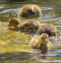 Younger than Springtime (pekabo90401) Tags: duckling birdwatching babyduck madronamarsh southerncaliforniabirds birdwatchinglosangeles pekabo90401 birdsofmadronamarsh