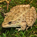 Plains Leopard Frog, Male