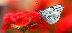 photo macro panoramique nature et papillon (BOILLON CHRISTOPHE) Tags: red flower nature butterfly rouge colorful papillon geranium blanc nikkor105mm chamonixmontblanc 105mmf28gvrmicro photomacro photomacrodinsecte photoboillonchristophe
