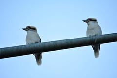 Together (Luke6876) Tags: bird kingfisher kookaburra australianwildlife