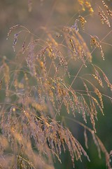Soft Summer Evening Light (sheilaadam718) Tags: grass cairngormsnationalpark goldengrass scottishhighalnds grassinsummersun