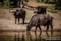 Buffalo In Chobe National Park, Botswana