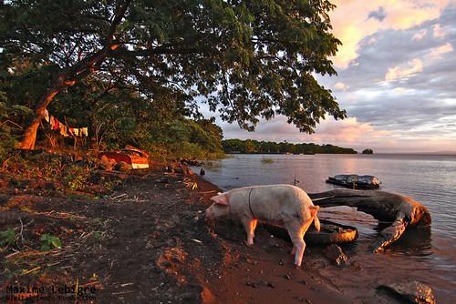 Organic Pig de Ometepe - Nicaragua