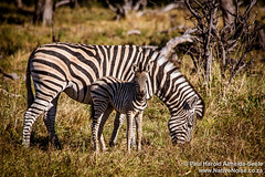Zebra With Young In The Okavango Delta, Botswana