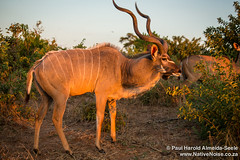 Male Kudu In Chobe National Park, Botswana