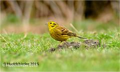 Yellohammer (Huddsbirder) Tags: old england photography unitedkingdom hide moor yellowhammer rspb boltonupondearne fz1000 huddsbirder