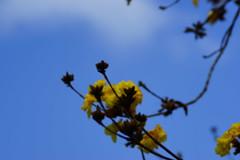 Golden Trumpet Tree (ddsnet) Tags: plant flower sony 99   slt   goldentrumpettree tabebuiachrysotricha    singlelenstranslucent 99v yellowpui