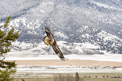 Juvenile bald eagle soaring over the South Fork (jgmanwar) Tags: nature eagle wildlife hunting baldeagle idaho raptor snakeriver soaring birdofprey swanvalley southfork