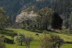 Kühe ( Kuh - Cow ) auf einer Wiese - Weide bei Gretschins im Rheintal im Kanton St. Gallen der Schweiz (chrchr_75) Tags: chriguhurnibluemailch christoph hurni schweiz suisse switzerland svizzera suissa swiss chrchr chrchr75 chrigu chriguhurni hurni150424 april 2015 albumzzzz150424velotoursargansbuchssg albumzzz201504april albumküheinderschweiz kuh kühe cow lehmä vache kýr mucca 牛 koe ku vaca ko sveitsi sviss スイス zwitserland sveits szwajcaria suíça suiza