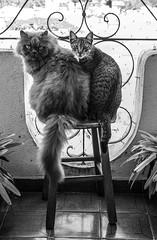 Bichanos (felipe sahd) Tags: city cidade cats brasil noiretblanc sãopaulo gatos felinos 123bw bichanos