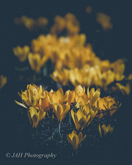 Spring Explodes (jah32) Tags: light ontario canada color colour yellow hope spring nikon yellowflowers stratford springtime lightroom breathless cmwdyellow d7000