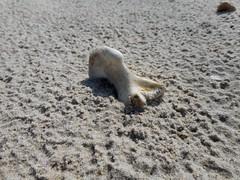 Urlaub Dnemark 2016 (bunkertouren) Tags: nature strand denmark meer outdoor urlaub natur bone dnemark skagen knochen 2016 srand urlaub2016
