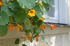 Flower Yellow & Orange (sb.estate) Tags: orange sun flower yellow sommer grean collor summ