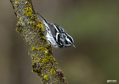 Black and white Warbler (Corey Hayes) Tags: songbird warbler spring moss forest muskoka art small constrast