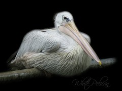 Perching Beauty (Mel's Looking Glass) Tags: portrait white black pose background pelican american resting the perching pelecanus erythrorhynchos