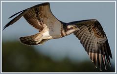 Juvenile Osprey from Balgavies. (Scottish_And_Proud) Tags: white green loch bf uf osprey balgavies