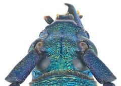 Malayanochroma cheongae Bentanachs & Drouin, 2013 Male Caput (urjsa) Tags: coleoptera kfer beetle insect cerambycidae malayanochroma malaysia geo:country=malaysia taxonomy:order=coleoptera kaefer taxonomy:genus=malayanochroma suedostasien southeastasia sdostasien taxonomy:family=cerambycidae coleopteraus cheongae malayanochromacheongae taxonomy:species=malayanochroma taxonomy:binomial=malayanochromacheongae caput
