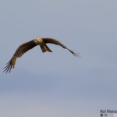 Flying Eagle 1 (ruivieirafoto) Tags: portugal barragem do maranho canon 100400 ii guia eagle