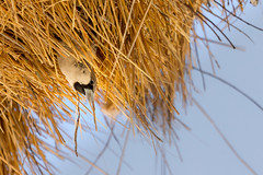 Sociable weaver looking out of nest (richardkt4545) Tags: red wildlife nature bird couple desert desertbird etosha namibia africa afrika animal outdoor feather giraffe elephant sociable weaver hut sunset savannah tin roof thorn acacia nest baby