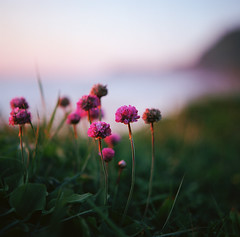 always something there to remind me (manyfires) Tags: ocean flowers sunset sea film beach grass oregon analog mediumformat square golden coast bokeh shoreline hasselblad pacificocean shore pacificnorthwest coastline wildflowers clover pnw magichour yachats capeperpetua hasselblad500cm
