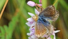 Common Blue captured by spider 270616 (Richard Collier - Wildlife and Travel Photography) Tags: insects spiders butterflies commonblue captured