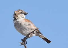 Great Sparrow - female (anacm.silva) Tags: greatsparrow sparrow pardal bird ave wild wildlife nature natureza naturaleza africa namibia etosha nambia frica etoshanationalpark passermotitensis pardalgrande