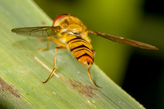 Respect (pasiak75) Tags: macro insect bugs makro syrphidae 2016 flowerfly owady bzyg insekty