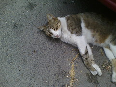 IMG12781 (chicore2011) Tags: community cat coping with torrid summer days