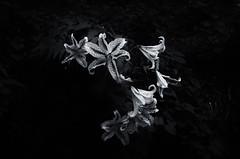 #136  flowers (7things_and_photo) Tags: flower monochrome lily blackandwhite meyer trioplan f3 50mm leicat