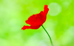 Rouge coquelicot et vert anis (christophe.laigle) Tags: fuji coquelicot macro xpro2 rouge vert