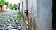 desde mi puerta (_Joaquin_) Tags: joalc joaquinlapizaga joafotografia nikon d3200 nikkor35mm18 colonia uruguay flickr fotografia airelibre perro dog door retrato portrait calle