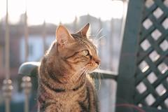 Mihos staring at the wind (Debbananas) Tags: canoneos1000d 50mm alba light sun sunriselight sunrise wind animali animal animals gatti gatto cats cat
