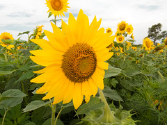 20160723-IMG_0039 (MandoCatDSM) Tags: sunflowers badger creek wildflowers sunrise