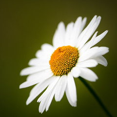 Wild Daisy (roseysnapper) Tags: dounesidehouse royaldeeside depthoffield wildflower macro scotland daisy flower focus nature outdoor plant