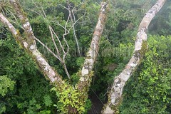 60071615 (wolfgangkaehler) Tags: 2016 southamerica southamerican ecuador ecuadorian latinamerica latinamerican rionapo rionapoecuador rionaporiver rainforest coca cocaecuador laselvalodge observationtower tower rainforestcanopy epiphyticplants epiphyte epiphytes trees