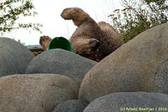 ijsberen_16 (Arnold Beettjer) Tags: wildlands emmen dierenpark dierentuin dierenparkemmen ijsbeer ijsberen polarbear