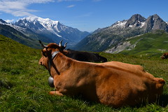 Avec vue sur le Mont Blanc ... With Mont Blanc view... (CHAM BT) Tags: alpage vache herbe vert vue montblanc montagne neige corne cloche ete tranquil paisible cow grass view mountain snow horn bell summer peaceful france valley vallee rando walking hiking tourdumontblanc col pass hautesavoie