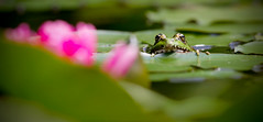 Wait and see (VB31Photo) Tags: vb31photo frog funny pond puddle green grenouille mare nnuphare flower fleur nenuphar water eau nature wait see camoufflage camouflage