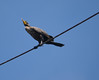 DC Cormorant (foxtail_1) Tags: lagrandehermine thebigweasel jordanharbour shipwreck phalacrocoraxauritus doublecrestedcormorant cormorant