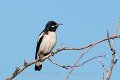 Pied Honeyeater (chrissteeles) Tags: piedhoneyeater honeyeater bird birding birdsvilletrack outback southaustralia sa