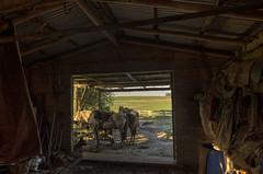 El galpon (jorge_n_lopez) Tags: uruguay gaucho rural caballo horses tacuaremb caraguata campaa campo