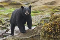 Don (rs) (Blingsister) Tags: americanblackbear blackbear bear largemammal blingsister melanieleesonwildlifephotography canon7dmarkii canonef100400mmf4556lisiiusm northernvancouverisland