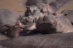 Happy Hippos (Sue MacCallum-Stewart) Tags: hippo kenya maasaimara happy africa portrait