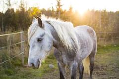 Ohana Flannacan (Nilamalin91) Tags: connemara pony horse ponny