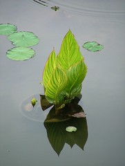 Green Flames (jHc__johart) Tags: water pond garden arboretum kansas opksarboretum opagc frog bugeyed shadow