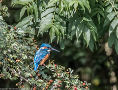 9Q6A7040 (2) (Alinbidford) Tags: alinbidford alancurtis brandonmarsh kingfisher greyheron heron kestrel