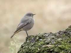 PA070064 (turbok) Tags: hausrotschwanzphoenicurusochruros tiere vögel wildtiere c kurt krimberger