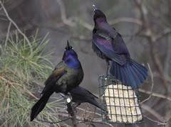 """Common Grackle"" ""Quiscalus quiscula"" (jackhawk9) Tags: nature birds canon newjersey wildlife ngc grackle commongrackle quiscalusquiscula southjersey backyardbirding jackhawk9"